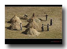Tef-Ernte in Äthiopien