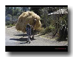 Transport der Tef-Ernte per Kamel