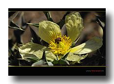 Blüte des Stechmohns
