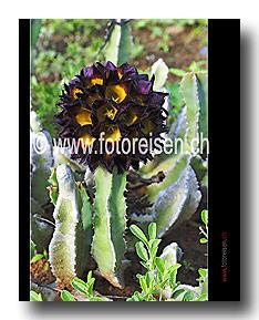 Blüte einer Caralluma