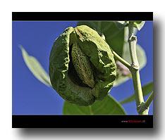 Frucht des Calotropis procera