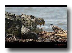 Krokodil mit Vogel