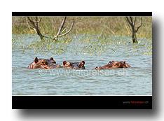 Nilpferde im Chamo See