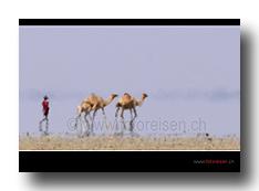 Kamele in der Hitze