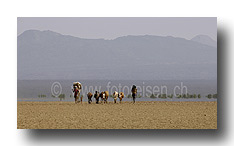 Vietrieb in der Wüste Danakil