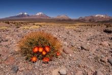 Kaktus mit Vulkanen im Hintergrund
