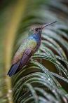 Amazilia-Versicolor im Atlantischen Regenwald