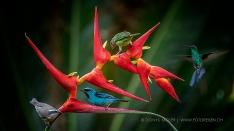 Tanagers im Atlantischen Regenwald