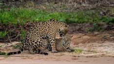 Jaguar -Paarung