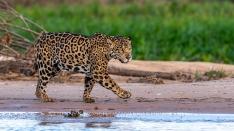 Jaguar auf der Jagd