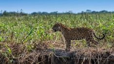 Jaguar auf der Jagd am Flussufer