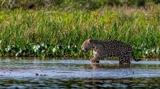 Jaguar auf der Jagd im Fluss