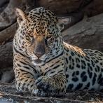 Jaguar beim Relaxen