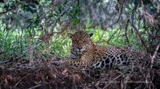 Jaguar entspannt im Schatten