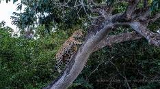 Jaguar klettert auf einen Baum