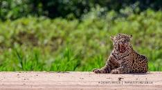 Jaguar nach dem Gähnen
