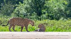 Jaguar Paar