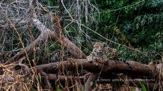 Jaguar relaxt auf einen Baum