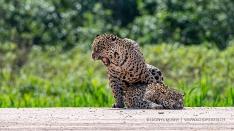 Jaguare bei der Paarung