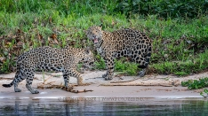 Jaguare nach der Paarung