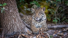 Junger Jaguar ruht sich aus