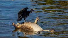 Schwarzgeier auf totem Cayman