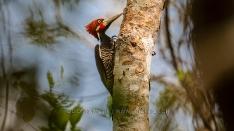Schwarzkehlspecht - Crimson drested Woodpecker