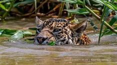 Schwimmender Jaguar