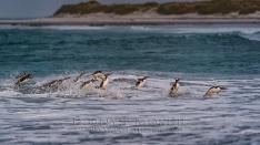 Gentoo Pinguine