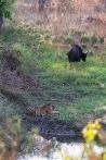 Tiger und Gaur