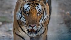 Tigerreise Indien