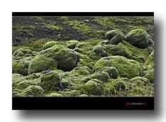Mossteppich in Island