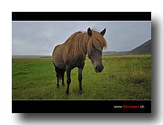 Icelandpferd