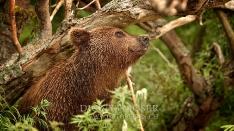 Kamtschatka-Braunbären_12