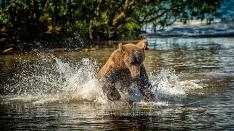 Kamtschatka-Braunbären_14