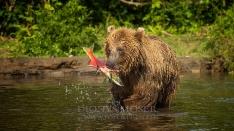 Kamtschatka-Braunbären_15