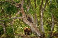 Kamtschatka-Braunbären_20