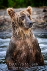Kamtschatka-Braunbären_5
