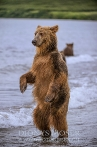 Kamtschatka-Braunbären_6