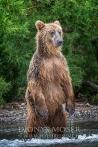 Kamtschatka-Braunbären_8