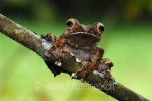 Baumsteiger-Frosch