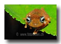 Boophis Madagascar