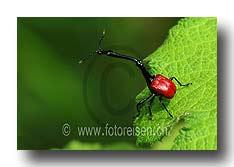 Giraffenhals-Käfer