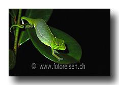 Tag-Gecko; Calumma_gastrotaen