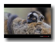Junger Madagaskar Lemur