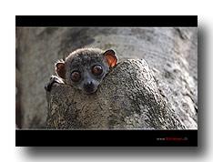 Lepilemur oder Sportive Lemur