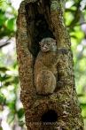 Sportiv Lemur