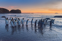 King Pinguine, Salisbury Plain