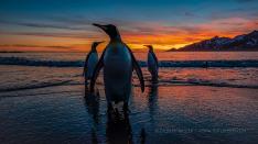 Königspinguin am Strand bei Sonnenaufgang