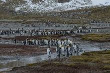 Königspinguine - Grösste Kolonie der Welt
